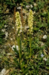 Small White Orchid (Pseudorchis straminea)