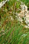 Common Saltmarsh-Grass - Sea Meadow-Grass (Puccinellia maritima)