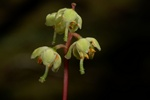Yellow Wintergreen (Pyrola chlorantha)