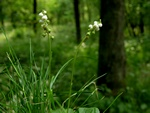 Common Wintergreen (Pyrola minor)