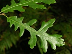 Turkey Oak (Quercus cerris)