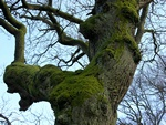 Pedunculate Oak, English Oak (Quercus robur)