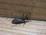 The Fly Bug, Masked Bedbughunter, Masked Assassin Bug (Reduvius personatus)