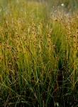 Brown Beak-Sedge (Rhynchospora fusca)