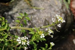 Narrow-Fruited Water-Cress - One- (Rorippa microphylla)