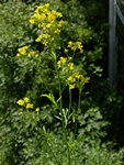 Creeping Yellowcress (Rorippa sylvestris)