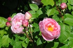 Rosa (Constance Spry)