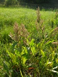 Water Dock (Rumex hydrolapathum)
