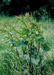 Northern Dock (Rumex longifolius)