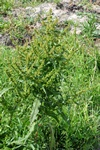 Golden Dock (Rumex maritimus)