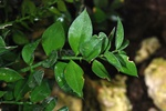 Butcher´s Broom (Ruscus aculeatus)