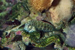 Banded jewelled blenny (Salarias fasciatus)