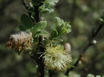 Grey Willow (Salix cinerea)