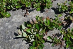 Bearberry Willow (Salix uva-ursi)