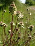 Salad Burnet (Sanguisorba minor ssp. minor)