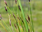 Brown Bog-Rush (Schoenus ferrugineus)