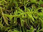 Neat Feather-moss (Scleropodium purum)
