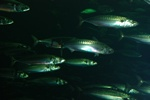 Atlantic mackerel (Scomber scombrus)