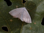 Lesser Cream Wave (Scopula immutata)