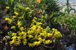 Biting Stonecrop, Wallpepper (Sedum acre)