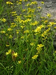 Narrow-Leaved Ragwort (Senecio inaequidens)