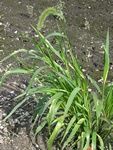 Nodding Bristle-grass (Setaria faberi)
