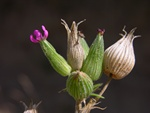 Sand Catchfly, Striated C. (Silene conica)