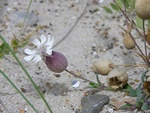 Sea Campion (Silene uniflora ssp. uniflora)