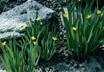 Yellow-eyed-grass (Sisyrinchium californicum)