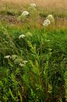 Great Water-Parsnip (Sium latifolium)