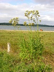 Marsh Sow-Thistle (Sonchus palustris)