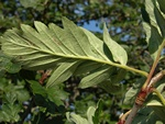 Swedish Service Tree (Sorbus hybrida)