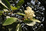Swedish Whitebeam (Sorbus intermedia)