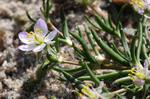 Greater Sand-spurrey (Spergularia media)