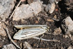 Feathered Footman (Spiris striata)