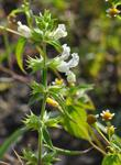 Annual Woundwort (Stachys annua)