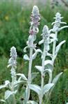 Bunnie´s Ears, Lambs Tongue (Stachys byzantina)