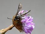 Thrift Clearwing (Synansphecia muscaeformis)