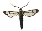 White-barred Clearwing (Synanthedon spheciformis)