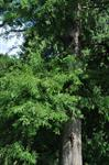 Swamp Cypress (Taxodium distichum)