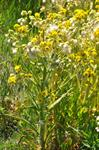 Marsh Fleawort (Tephroseris palustris)