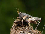 Common Groundhopper (Tetrix undulata)