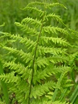 Marsh Fern (Thelypteris palustris)