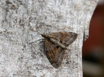 Grey Pine Carpet (Thera obeliscata)