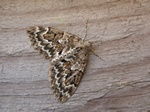 Spruce Carpet (Thera variata)
