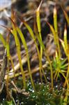 Awl-leaved Screw-moss (Tortula subulata)