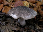 Dark Scaled Knight (Tricholoma atrosquamosum)