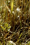 Cotton Deer Grass (Trichophorum alpinum)