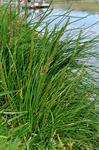 Sea Arrowgrass (Triglochin maritima)