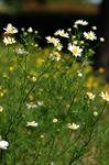 Scentless Mayweed (Tripleurospermum perforatum)